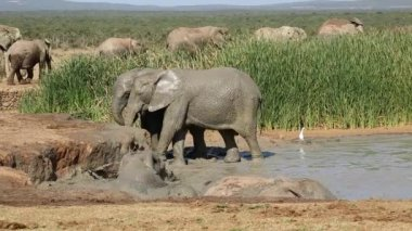 Playful African elephants — Stock Video