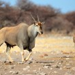 Eland antelope — Stock Photo #62583041