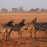 Plains Zebras — Stock Photo #62583077