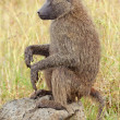 Olive baboon — Stock Photo #62583079