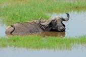 African buffalo in water — Stock Photo