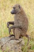 Olive baboon — Stock Photo