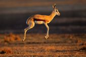 Springbok antelope jumping — Stock Photo