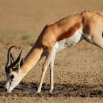 Drinking springbok antelope — Stock Photo #63125461