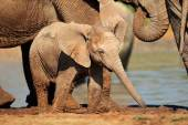 Baby African elephant — Stock Photo