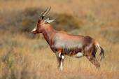 Blesbok antelope — Stock Photo