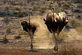 Ostriches in dust — Stock Photo