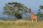 Rothschilds giraffe — Stock Photo