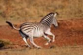 Running plains zebra — Stock Photo