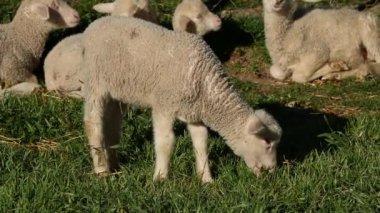 Lamb on pasture — Stock Video