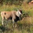 Eland antelope — Stock Photo #63782965