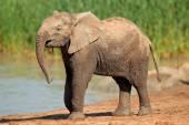 Elephant at waterhole — Stock Photo