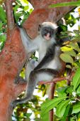 Zanzibar red colobus monkey — Stock Photo
