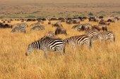 Zebre e gnu al pascolo — Foto Stock