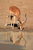 Impala antelope drinking water — Stock Photo