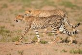 Stalking Cheetahs — Stock Photo