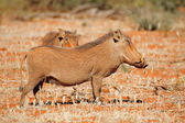 Warthogs in natural habitat — Stock Photo