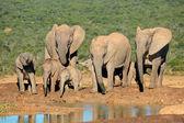 African elephant family — Stock Photo