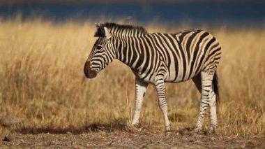 Grazing plains zebra — Stock Video