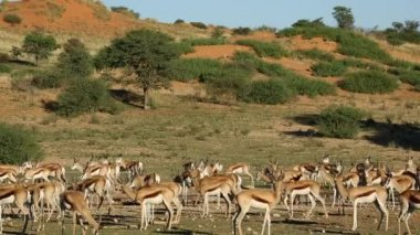 Antilopi Springbok alla pozza d'acqua — Video Stock