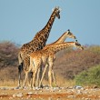 Giraffes in natural habitat — Stock Photo #68769069