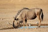 Blue wildebeest at waterhole — Stock Photo