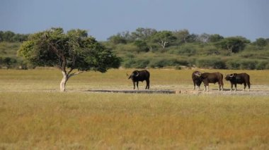 African buffaloes — Stock Video