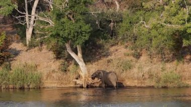 African elephant in river — Stock Video