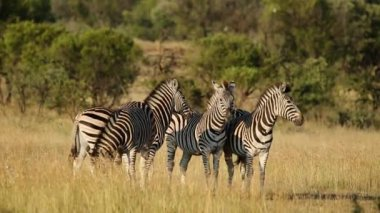 Alert Plains Zebras — Stock Video