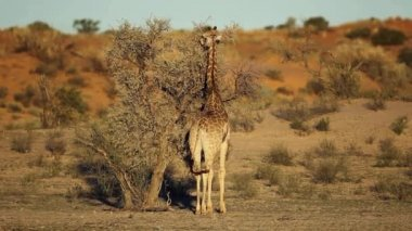 长颈鹿和相思树 — 图库视频影像