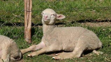 Merino sheep lamb — Stock Video