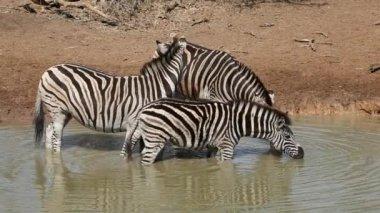Plains Zebras drinking — Stock Video