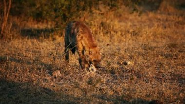 Scavenging spotted hyena — Stock Video