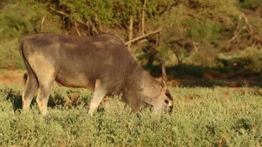 Feeding eland antelope — Stockvideo