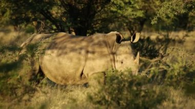 White rhinoceros in natural habitat — Stock Video