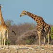 Giraffes in natural habitat — Stock Photo #70073507