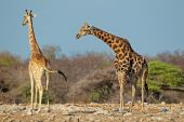 Giraffes in natural habitat — Stock Photo