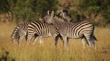 Interacting plains Zebras — Stock Video