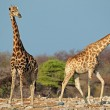 Giraffes in natural habitat — Stock Photo #71295689