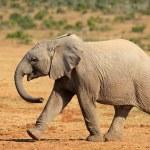 African elephant walking — Stock Photo #71893369
