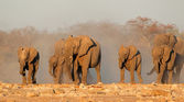 African elephants in dust — Stock Photo