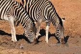 Plains Zebras drinking water — Stock Photo