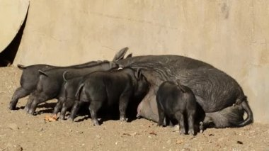 Pot-bellied pigs — Stock Video