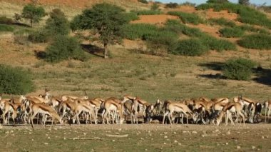 Springbok antelopes at waterhole — Stock Video