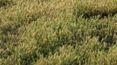Sunlit grasses in wind — Stock Video