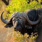 African buffalo — Stock Photo #73573419