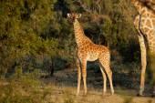 Baby giraffe — Foto Stock