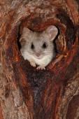 Akacja drzewo szczur — Zdjęcie stockowe