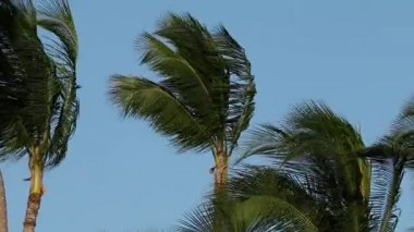 Palm trees in wind — Stock Video