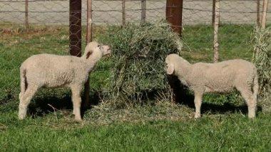Merino sheep lambs — Stock Video